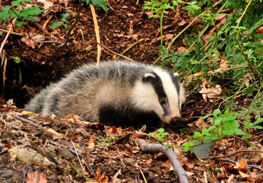 Badger. Badgers in Your Garden