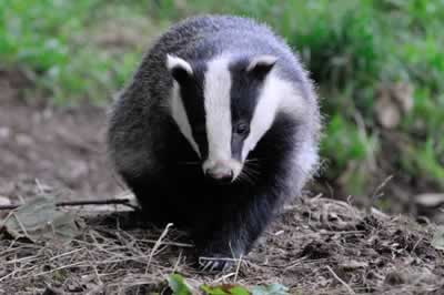 Badger Face On