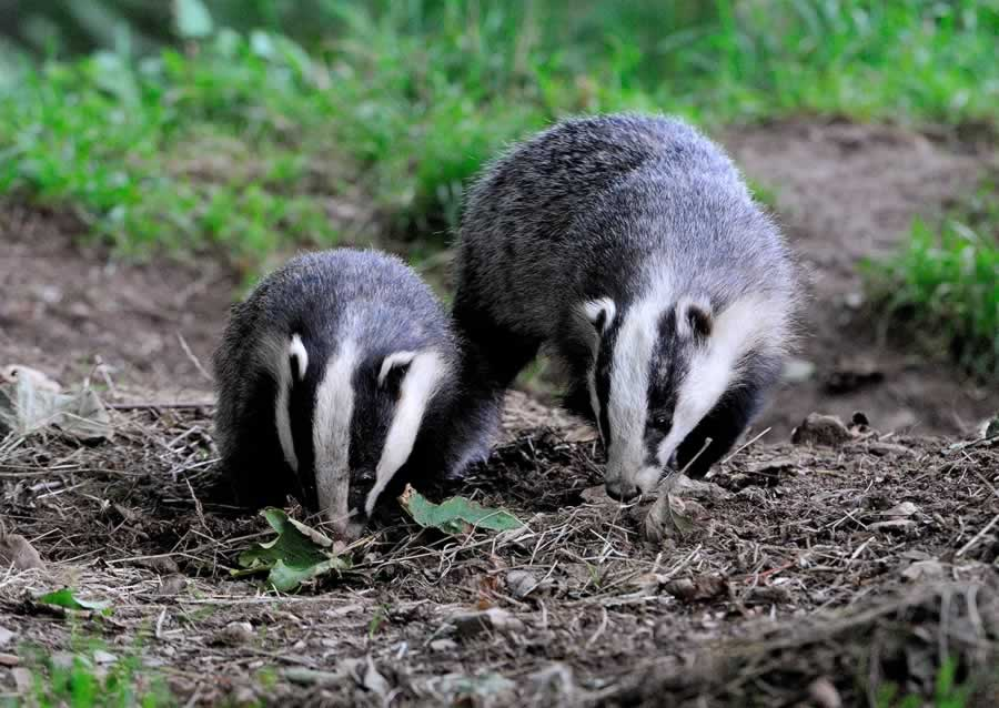 Young Badgers